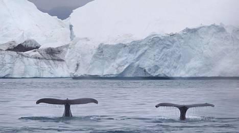 Valaat viihtyvät Ilulissatissa Grönlannissa.