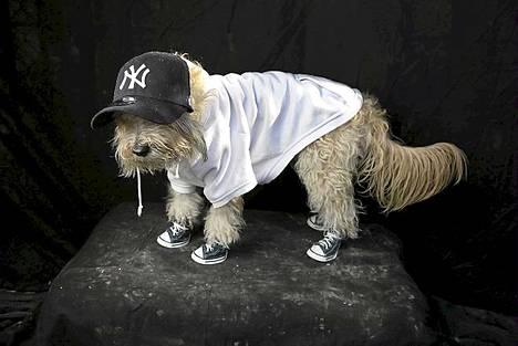 Maltankoiran ja villakoiran risteytys Shaggy on puettu Yankees-faniksi.