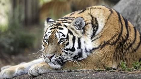 Kissaeläimiin pidetään Korkeasaareessa 1,5–2 metrin turvaväli.