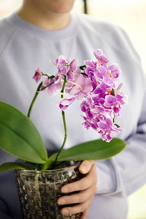 Kun juuret näyttävät harmaalta ja orkidea tuntuu kevyeltä, on kastelun aika.