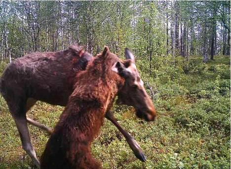 Rajavartiolaitoksen kameralle tallentui karhun ja hirven kamppailu lauantaina