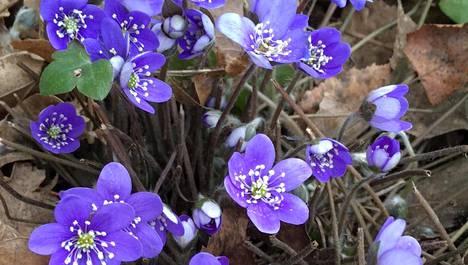 Sinivuokot kukkivat jo Karakalliossa. Kuva on otettu 24.3.2020.