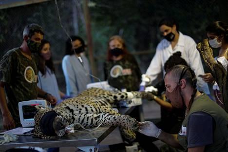 Instituto Nexin eläinlääkäritiimi nukutti Ousadon syyskuussa hoitaakseen sen kärventyneitä käpäliä.