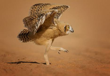 Nuori pöllö harjoitteli lentämistä Saudi-Arabiassa.