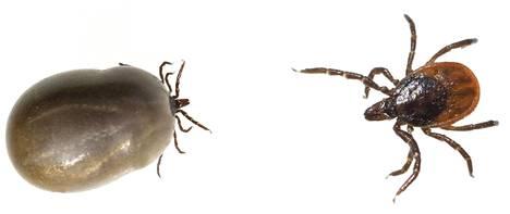 Oikealla aikuinen naaraspunkki, vasemmalla naaraspunkki veriaterian jälkeen.