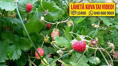 Sinikka lähetti IS:lle kuvan mansikoista, jotka jatkavat satokautta vielä lokakuussa.