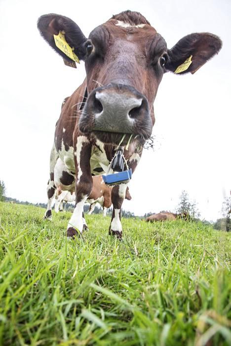 Lehmä on luotu syömään ruohoa ja se heinään perustuu suomalaisten nautojen ruokavalio.
