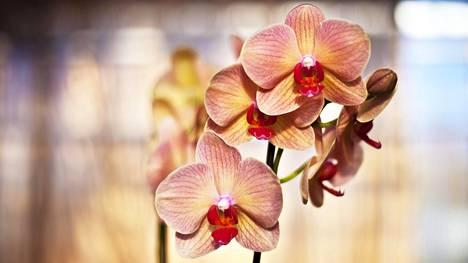 Minna lähti lomalle ja yllättyi palattuaan kotiin. Laiminlyödyt orkideat voivat paremmin kuin voisi kuvitella.