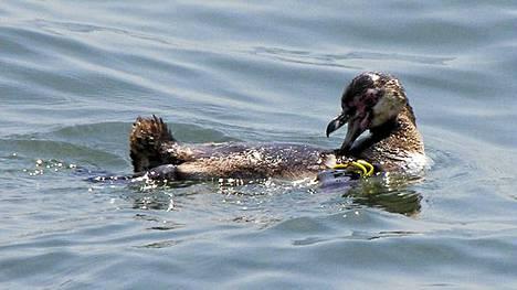 Karkuripingviini näytti naureskelevan vapaudessa.