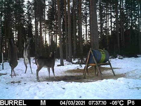 Kaksi peuraa ilakoi Hattulassa, kun yksi katselee.