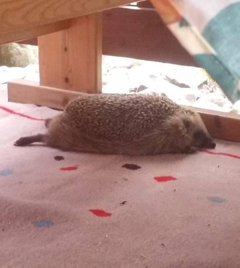 Kaveri tuhahti tyytyväisenä ja kellahti syötyään matolle.