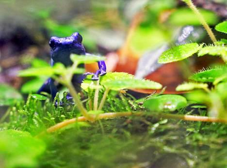 Yksi InnoGreenin toimiston lemmikeistä on myrkkynuolisammakko Setä Sininen. Luontoarvot ovat yrityksen perustajille tärkeitä.