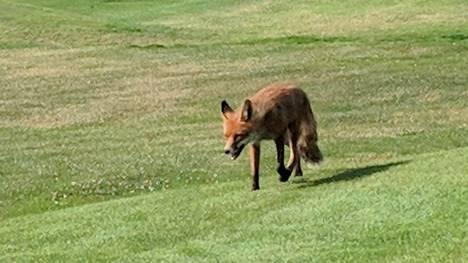 Golfpalloja katosi mystisesti USA:ssa – samanlainen varas tallentui videolle Kirkkonummella