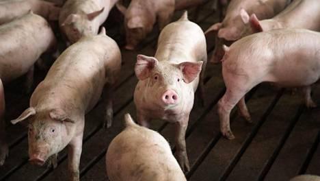 Nämä siat kuvattiin Yhdysvaltain Illinoisin osavaltiossa viime viikolla.