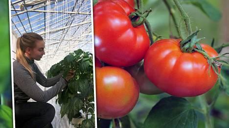 – Teen täällä kaikkea mahdollista. Nyt on paprikoiden kasvatuksessa se vaihe, että taimia solmitaan kiinni. Kurkkua menee kauppoihin. Pieniä tomaatteja myös jo kerätään, kertoo puutarhalla töissä oleva Minea Simi.