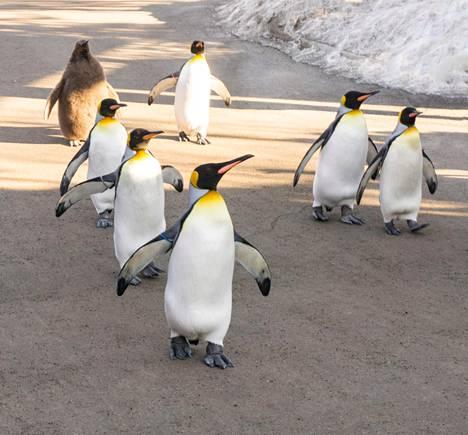 Kuningaspingviinit liikkuvat tavallisesti talvisinkin ulkona Calgaryn eläintarhassa.