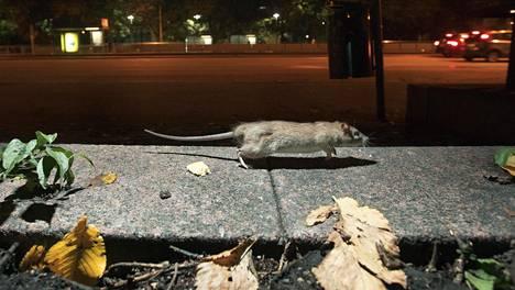 Tämä rotta vilisti Helsingissä Alli Tryggin puistossa muutama vuosi sitten.