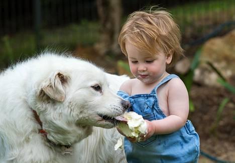 1-vuotias Hudson Walsh jakoi jäätelönsä Sammy-koiran kanssa Australian Adelaidessa.