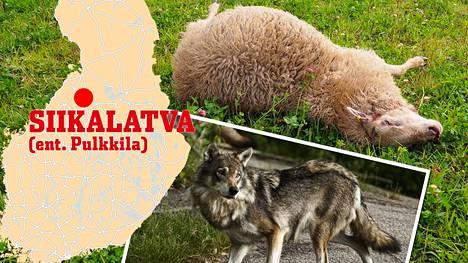 Lampuri Hannu Iso-Junno kertoo, että hän aikoo vielä viikonloppuna käydä kaikkia lampaat läpi siltä varalta, että uhreja löytyy vielä lisää. Kuvan susi on kuvituskuva.