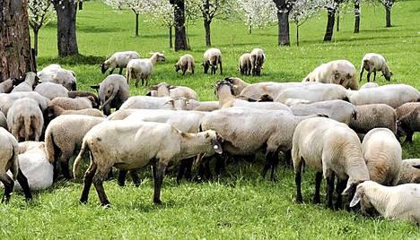 Brittiläiset lammasvarkaat saattoivat tehdä jonkinlaisen ennätyksen.