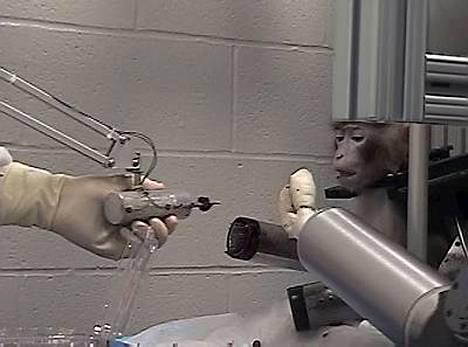 Apinat tekevät jälleen ikävimmän työn ihmisen hyväksi.