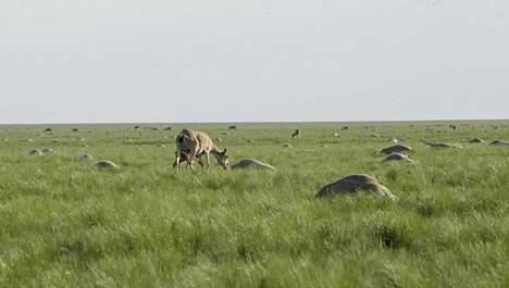 Saiga-antilooppien kuolleisuus Kazakstanissa nousi alueellisesti lähelle sataa prosenttia.