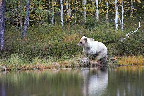 Toivoniemi havaitsi karhun muutaman kilometrin päässä Venäjän rajalta.