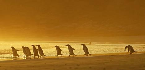 Oksenteleva kulkija Falklandin saarilla.
