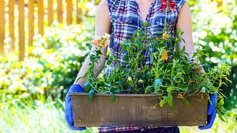 Hyötyviljely onnistuu hyvin viljelylaatikossa.