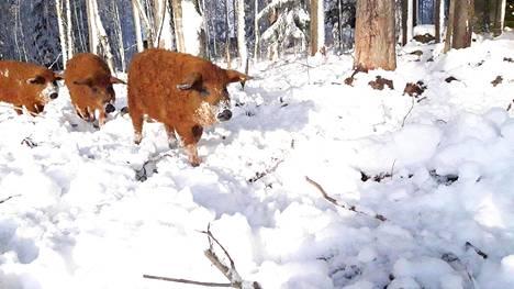 Villasiat selviävät kylmässä karvapeitteensä ansiosta.