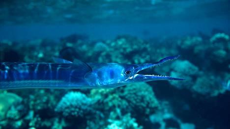 Nokkakalojen heimoon kuuluu 60 lajia. Kuvan yksilö uiskenteli koralliriutalla Punaisessa meressä.