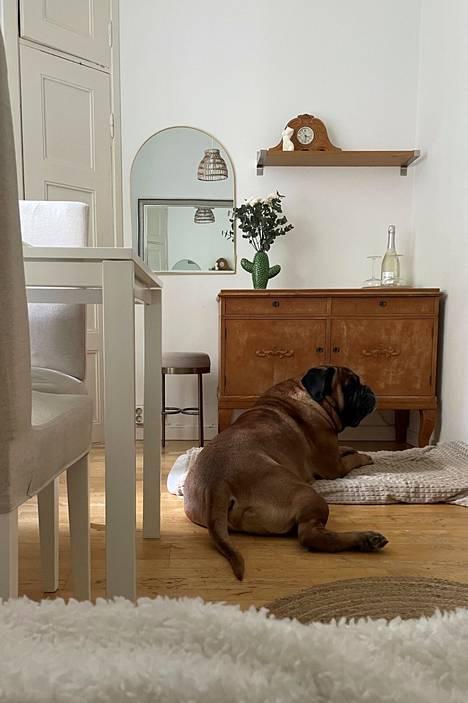 Bullmastiffi Aaron nautiskelee omalla paikallaan.