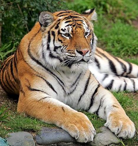 Tatiana-tiikeri on aiemminkin raadellut ihmisiä. Vuosi sitten joulun alla tiikeri riipi lihaksen irti eläintenhoitajan käsivarresta.