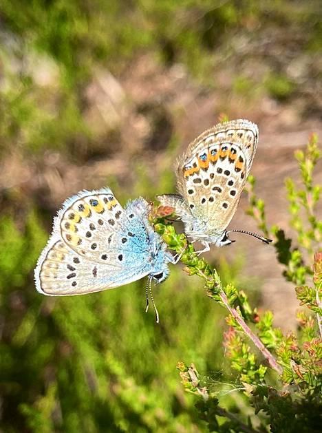 Kaksi perhosta teki tuttavuutta heinäkuun alussa Espoossa.