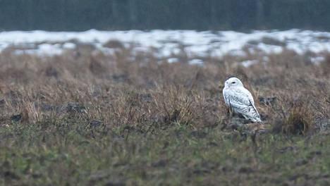 Kouvolan Valkealassa tehtiin viikonloppuna havainto Suomessa äärimmäisen uhanalaisesta tunturipöllöstä.