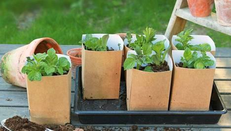 Potato-viljelypakkauksessa on kasvatuslaatikko ja 8 kappaletta pahviruukkuja.