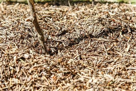 Niemisen mielestä muurahaiset, pilvet ja kärpäsen takapuoli kertovat, että tiedossa on villahousukesä.