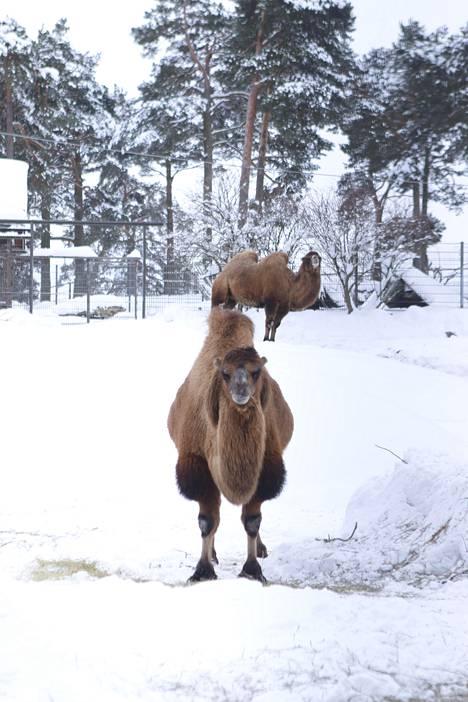 Korkeasaaren kamelit nauttivat pakkasesta.