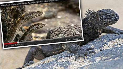 Galápagos-saarilla kuvatussa, katsojia järkyttäneessä kohtauksessa käärmeet jahtaavat joukolla iguaania.