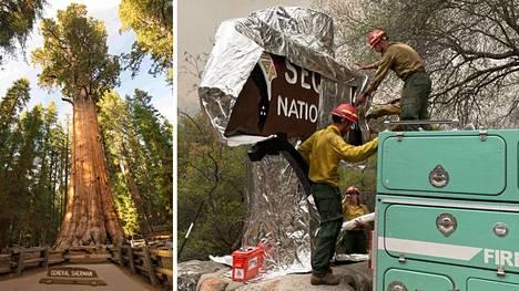 Kenraali Sherman -nimistä maailman suurinta puuta yritetään suojata metsäpalolta.