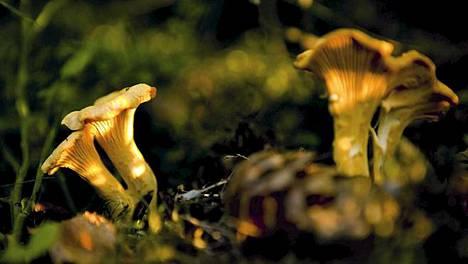 Yksi maailman sienistä: kanttarelli. Moni muu eliölaji on vielä tuntematon.