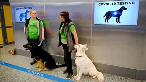 Koronakoirat Valo (vas.) ja E.T. ohjaajineen Helsinki-Vantaan lentoaseman näytteenantopisteellä.