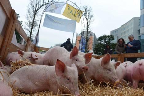 Myös possut olivat näkyvässä roolissa maanviljelijöiden mielenilmauksessa Brysselissä.