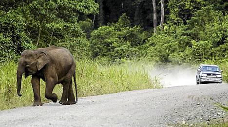 Norsu tallusteli maantiellä Malesian Sabahin maakunnassa, jossa hyökkäys tapahtui.
