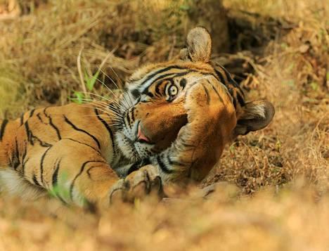 Kukkuluuruu! Tiikeri Ranhambhorin kansallispuistossa Intiassa.