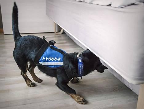 Seuraavana aamuna Sanna kutsui paikalle isännöitsijän, joka toi mukanaan ludekoiran. Koira merkkasi asunnon, ja isännöitsijä tilasi paikalle tuholaistorjujat. Kuvituskuva.