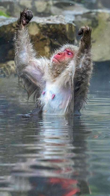 Apinan pullistelu kuvattiin Jigokudanin puistossa Japanissa.