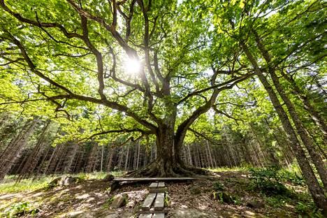 Jyhkeän Paavolan tammen arvioidaan olevan yli 300 vuotta vanha.