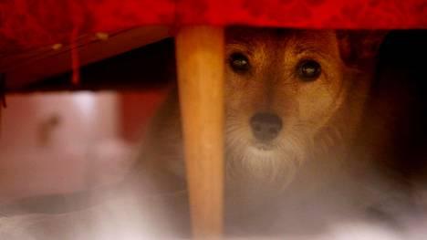Uusivuosi on monen koiran painajainen: Näin selviät paukkuaran koiran kanssa – 5 vinkkiä
