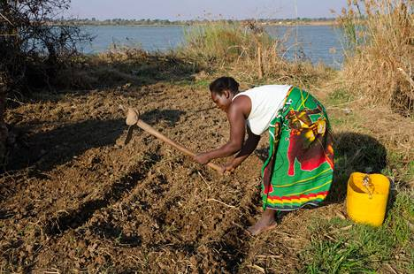Sambialaisnainen kuokkii peltoaan Monzessa, Sambiassa.